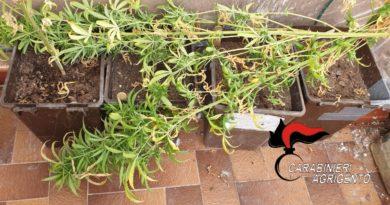 BURGIO – Coltivava in casa delle piantine di marijuana: denunciato