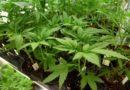 Cannabis terapeutica, il farmaco sarà gratuito in Sicilia